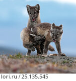Купить «Arctic fox (Alopex lagopus) juveniles play fighting, Wrangel Island, Far East Russia, August.», фото № 25135545, снято 14 августа 2018 г. (c) Nature Picture Library / Фотобанк Лори
