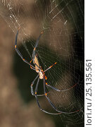 Купить «Golden orb weaving spiders (Nephila) on its web. Golden Orb Weaving Spiders are large spiders with silvery-grey to plum coloured bodies and brown-black, often yellow banded legs, Queensland,Australia.», фото № 25135561, снято 14 июля 2020 г. (c) Nature Picture Library / Фотобанк Лори