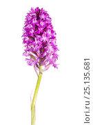 Купить «Pyramidal orchid (Anacamptis pyramidalis) in flower, Maine-et-Loire, France, June, meetyourneighbours.net project», фото № 25135681, снято 23 июля 2018 г. (c) Nature Picture Library / Фотобанк Лори