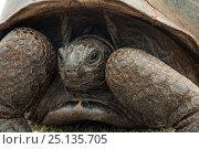 Aldabra Giant Tortoise (Aldabrachelys gigantea) close up of retracted head, Grand Terre, Natural World Heritage Site, Aldabra. Стоковое фото, фотограф Willem Kolvoort / Nature Picture Library / Фотобанк Лори
