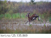 Купить «European mouflon (Ovis gmelini musimon) leaping through water, introduced species, Baie de Somme Nature Reserve, Picardie, France, April», фото № 25135869, снято 16 января 2019 г. (c) Nature Picture Library / Фотобанк Лори