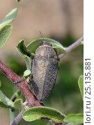 Купить «Copper Buprestid / Jewel beetle (Aurigena / Perotis lugubris) a pest of fruit tee roots, Lesbos / Lesvos, Greece, May», фото № 25135881, снято 19 августа 2018 г. (c) Nature Picture Library / Фотобанк Лори