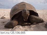 Aldabra Giant Tortoise (Aldabrachelys gigantea) portrait on beach... Стоковое фото, фотограф Willem Kolvoort / Nature Picture Library / Фотобанк Лори