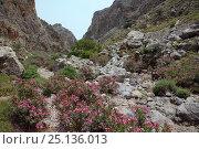 Купить «Many Oleander bushes (Nerium oleander) flowering beside stream bed in Zakros gorge, Sitia Nature Park, Lasithi, Crete, Greece, May 2013.», фото № 25136013, снято 22 июля 2018 г. (c) Nature Picture Library / Фотобанк Лори