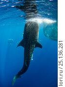 Купить «Whale Shark (Rhincodon typus) feeding at Bagan (floating fishing platform) Cenderawasih Bay, West Papua, Indonesia. Bagan fishermen see whale sharks as...», фото № 25136281, снято 26 марта 2019 г. (c) Nature Picture Library / Фотобанк Лори
