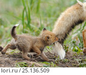 Red fox (Vulpes vulpes) cub biting tail of adult male, Kronotsky Zapovednik Nature Reserve, Kamchatka Peninsula, Russian Far East. June. Стоковое фото, фотограф Igor Shpilenok / Nature Picture Library / Фотобанк Лори