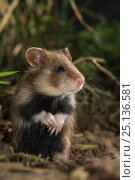 Купить «European Hamster (Cricetus cricetus) , juvenile, standing up, in grass, captive.», фото № 25136581, снято 20 августа 2018 г. (c) Nature Picture Library / Фотобанк Лори
