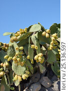 Купить «Prickly pear cactus / Barbary fig (Opuntia ficus-indica) with ripening fruits, Patmos, Dodecanese, Greece, August 2013.», фото № 25136597, снято 25 сентября 2018 г. (c) Nature Picture Library / Фотобанк Лори