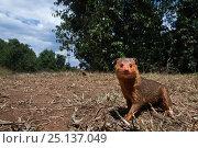 Купить «Dwarf mongoose (Helogale parvula) approaching remote camera, wide angle perspective. Maasai Mara National Reserve, Kenya.», фото № 25137049, снято 4 августа 2020 г. (c) Nature Picture Library / Фотобанк Лори