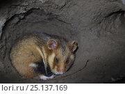 Купить «European hamster (Cricetus cricetus), in underground burrow, captive.», фото № 25137169, снято 19 августа 2018 г. (c) Nature Picture Library / Фотобанк Лори