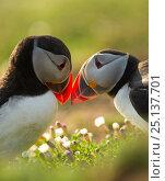 Купить «Atlantic Puffins (Fratercula arctica) bill rubbing, Skomer Island, Wales, UK, April», фото № 25137701, снято 22 февраля 2019 г. (c) Nature Picture Library / Фотобанк Лори