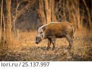 Bushpig (Potamochoerus larvatus) standing in a clearing. South Luangwa... Стоковое фото, фотограф Will Burrard-Lucas / Nature Picture Library / Фотобанк Лори