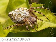 Купить «Orb-web spider (Aculepeira ceropegia) Nordtirol, Austrian Alps. June.», фото № 25138089, снято 25 января 2020 г. (c) Nature Picture Library / Фотобанк Лори
