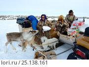 Купить «Pet reindeer calf  'akva' (Rangifer tarandus)with Nenet herders preparing for spring migration. Yar-Sale district, Yamal, Northwest Siberia, Russia. April 2016.», фото № 25138161, снято 19 июля 2019 г. (c) Nature Picture Library / Фотобанк Лори