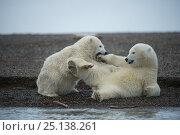 Купить «Two Polar bear (Ursus maritimus) cubs play fighting, Bernard Spit, 1002 Area, Arctic National Wildlife Refuge, North Slope, Alaska, USA, October. Vulnerable species.», фото № 25138261, снято 21 мая 2018 г. (c) Nature Picture Library / Фотобанк Лори