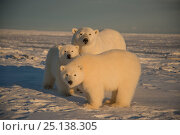 Купить «Polar bear (Ursus maritimus) sow with two cubs on newly formed pack ice, off the 1002 Area, Arctic National Wildlife Refuge, North Slope, Alaska, USA, October. Vulnerable species.», фото № 25138305, снято 6 июня 2020 г. (c) Nature Picture Library / Фотобанк Лори