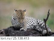 Купить «Leopard (Panthera pardus) female lying on a log licking her paws, Lake Ndutu Tanzania.», фото № 25138413, снято 21 июля 2018 г. (c) Nature Picture Library / Фотобанк Лори