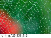 Купить «Dew on spiderweb with Common poppy (Papaver rhoeas) in the background, Sierra de Grazalema Natural Park, El Bosque, southern Spain, April.», фото № 25138513, снято 21 июня 2018 г. (c) Nature Picture Library / Фотобанк Лори