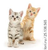Купить «British Shorthair kittens, Benedict, ginger, and Joan, silver tabby.», фото № 25138565, снято 17 июля 2018 г. (c) Nature Picture Library / Фотобанк Лори