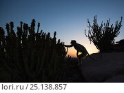 Купить «Southern plains grey langur / Hanuman langur (Semnopithecus dussumieri) feeding on cactus flowers at sunrise . Jodhpur, Rajasthan, India. March.», фото № 25138857, снято 21 августа 2019 г. (c) Nature Picture Library / Фотобанк Лори