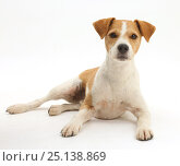 Купить «Jack russell terrier, Bobby, lying with head up.», фото № 25138869, снято 21 июля 2018 г. (c) Nature Picture Library / Фотобанк Лори