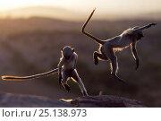 Купить «Southern plains grey langur / Hanuman langur (Semnopithecus dussumieri) juveniles playing at sunrise, Jodhpur, Rajasthan, India. March.», фото № 25138973, снято 17 июля 2018 г. (c) Nature Picture Library / Фотобанк Лори