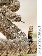 Купить «Western diamond-backed rattlesnake (Crotalus atrox) Texas, USA, April.», фото № 25139961, снято 22 октября 2018 г. (c) Nature Picture Library / Фотобанк Лори