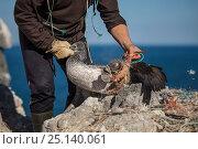 Купить «Researcher freeing juvenile Northern gannet (Morus bassanus) entangled in marine litter. Grassholm Island, Wales, UK. October», фото № 25140061, снято 17 июля 2018 г. (c) Nature Picture Library / Фотобанк Лори