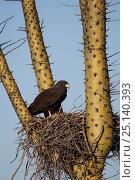 Harris' hawk (Parabuteo unicinctus) on nest in a Boojum tree (Fouquieria columnaris) Vizcaino Desert, Baja California, Mexico, May. Стоковое фото, фотограф Cyril Ruoso / Nature Picture Library / Фотобанк Лори