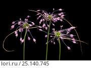 Купить «Keeled garlic flowers (Allium carinatum subsp. carinatum) flowers on black background,  Julian Alps, Slovenia. July», фото № 25140745, снято 15 августа 2018 г. (c) Nature Picture Library / Фотобанк Лори