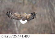 White tailed sea eagle (Haliaeetus albicilla) flying looking over shoulder, Hokkaido Japan. Стоковое фото, фотограф Wim van den Heever / Nature Picture Library / Фотобанк Лори