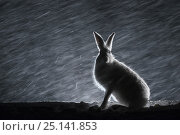 Купить «Mountain hare (Lepus timidus) sitting in snow at night, Norway, April.», фото № 25141853, снято 20 ноября 2017 г. (c) Nature Picture Library / Фотобанк Лори