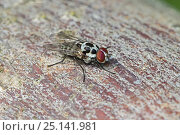 Купить «Anthomyiid Fly  (Anthomyia procellaris)  Stave Hill Ecology Park, Rotherhithe, London.  May», фото № 25141981, снято 16 октября 2019 г. (c) Nature Picture Library / Фотобанк Лори