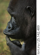 Купить «Western lowland gorilla, (Gorilla gorilla gorilla) with finger on chin, captive, occurs in Central Africa. Critically endangered.», фото № 25142489, снято 19 сентября 2019 г. (c) Nature Picture Library / Фотобанк Лори