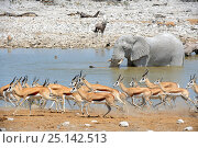 Купить «Springbok herd running away from waterhole (Antidorcas marsupialis) with African elephant (Loxodonta africana) and Oryx (Oryx gazella) in the background...», фото № 25142513, снято 21 июня 2019 г. (c) Nature Picture Library / Фотобанк Лори