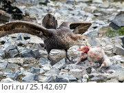 Купить «Southern giant petrel (Macronectes giganteus) killing a Southern giant petrel chick, Livingston Island, South Shetland Islands, Antarctica, January.», фото № 25142697, снято 17 августа 2018 г. (c) Nature Picture Library / Фотобанк Лори
