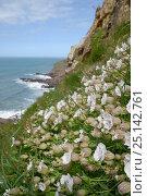 Купить «Sea campion (Silene maritima) flowering on slumping cliff, Widemouth Bay, Cornwall, UK, May.», фото № 25142761, снято 19 февраля 2019 г. (c) Nature Picture Library / Фотобанк Лори