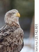 Купить «White-tailed Eagle (Haliaeetus albicilla) potrait of adult bird, Finland. March.», фото № 25142801, снято 27 февраля 2020 г. (c) Nature Picture Library / Фотобанк Лори