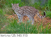 Купить «Male Little spotted cat / Oncilla (Leopardus tigrinus) captive, occurs in South America, Vulnerable species.», фото № 25143113, снято 2 августа 2020 г. (c) Nature Picture Library / Фотобанк Лори