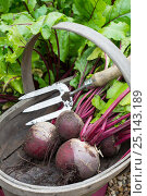 Купить «Wooden trug and hand fork with Beetroot 'Pablo' (Beta vulgaris), Norfolk, England UK. July», фото № 25143189, снято 21 июня 2018 г. (c) Nature Picture Library / Фотобанк Лори