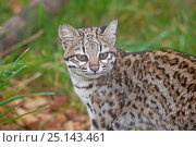 Купить «Male Oncilla / Little spotted cat (Leopardus tigrinus) portrait, captive, occurs in South America, Vulnerable species.», фото № 25143461, снято 4 августа 2020 г. (c) Nature Picture Library / Фотобанк Лори