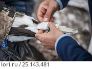 Купить «Seabird researchers retrieve data loggers (GPS and altimeter) from captured Northern gannet (Morus bassanus). Bass Rock, Scotland, UK. August», фото № 25143481, снято 24 сентября 2018 г. (c) Nature Picture Library / Фотобанк Лори