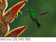 Купить «Green-crowned brilliant hummingbird (Heliodoxa jacula) hummingbird adult male flying to feed from Heliconia flower, Juan Castro National Park, Costa Rica.», фото № 25143765, снято 16 июля 2019 г. (c) Nature Picture Library / Фотобанк Лори