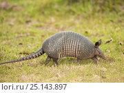 Nine-banded armadillo (Dasypus novemcinctus) walking in grass, Pantanal, Mato Grosso do Sul, Brazil. Стоковое фото, фотограф Kristel Richard / Nature Picture Library / Фотобанк Лори