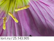 Купить «Pink evening primrose (Oenothera speciosa) stamens Laredo Borderlands, Texas, USA. April», фото № 25143905, снято 23 июля 2018 г. (c) Nature Picture Library / Фотобанк Лори