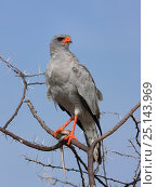 Купить «Pale chanting goshawk (Melierax canorus) with snake prey, Central Kalahari Game Reserve, Botswana», фото № 25143969, снято 21 марта 2019 г. (c) Nature Picture Library / Фотобанк Лори