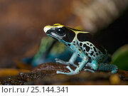 Купить «Dyeing poison arrow frog (Dendrobates tinctorius) captive, occurs in the Guiana Shield of South America.», фото № 25144341, снято 20 мая 2019 г. (c) Nature Picture Library / Фотобанк Лори