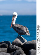 Купить «Brown pelican (Pelecanus occidentalis) North Seymour Island, Galapagos Islands,  East Pacific Ocean», фото № 25144349, снято 22 апреля 2019 г. (c) Nature Picture Library / Фотобанк Лори
