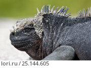 Купить «Marine iguana (Amblyrhynchus cristatus) Punta Espinosa, Fernandina Island, Galapagos Islands, East Pacific Ocean.», фото № 25144605, снято 25 мая 2019 г. (c) Nature Picture Library / Фотобанк Лори
