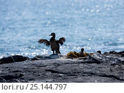 Купить «Flightless cormorant (Phalacrocorax harrisi) Punta Espinosa, Fernandina Island, Galapagos Islands, East Pacific Ocean», фото № 25144797, снято 22 апреля 2019 г. (c) Nature Picture Library / Фотобанк Лори